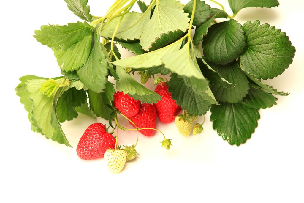 Our Strawberry season has just started in Miki!!