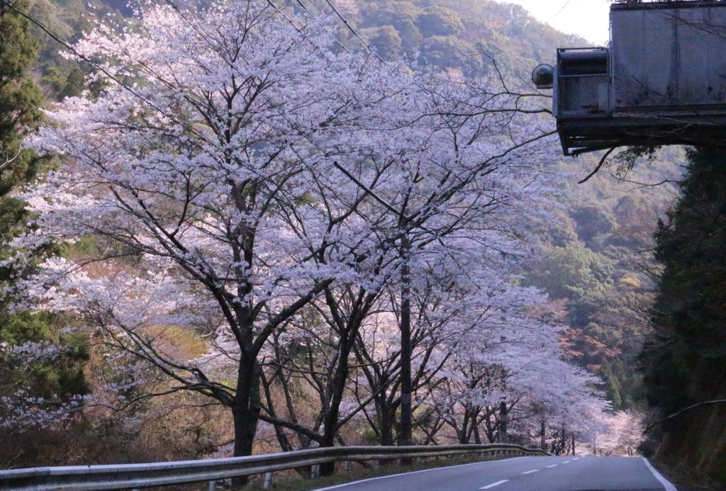 Season of Cherry Blossoms in SHIRAHAMA