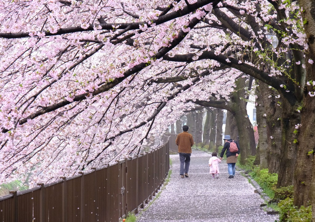 三沢川の桜㈰