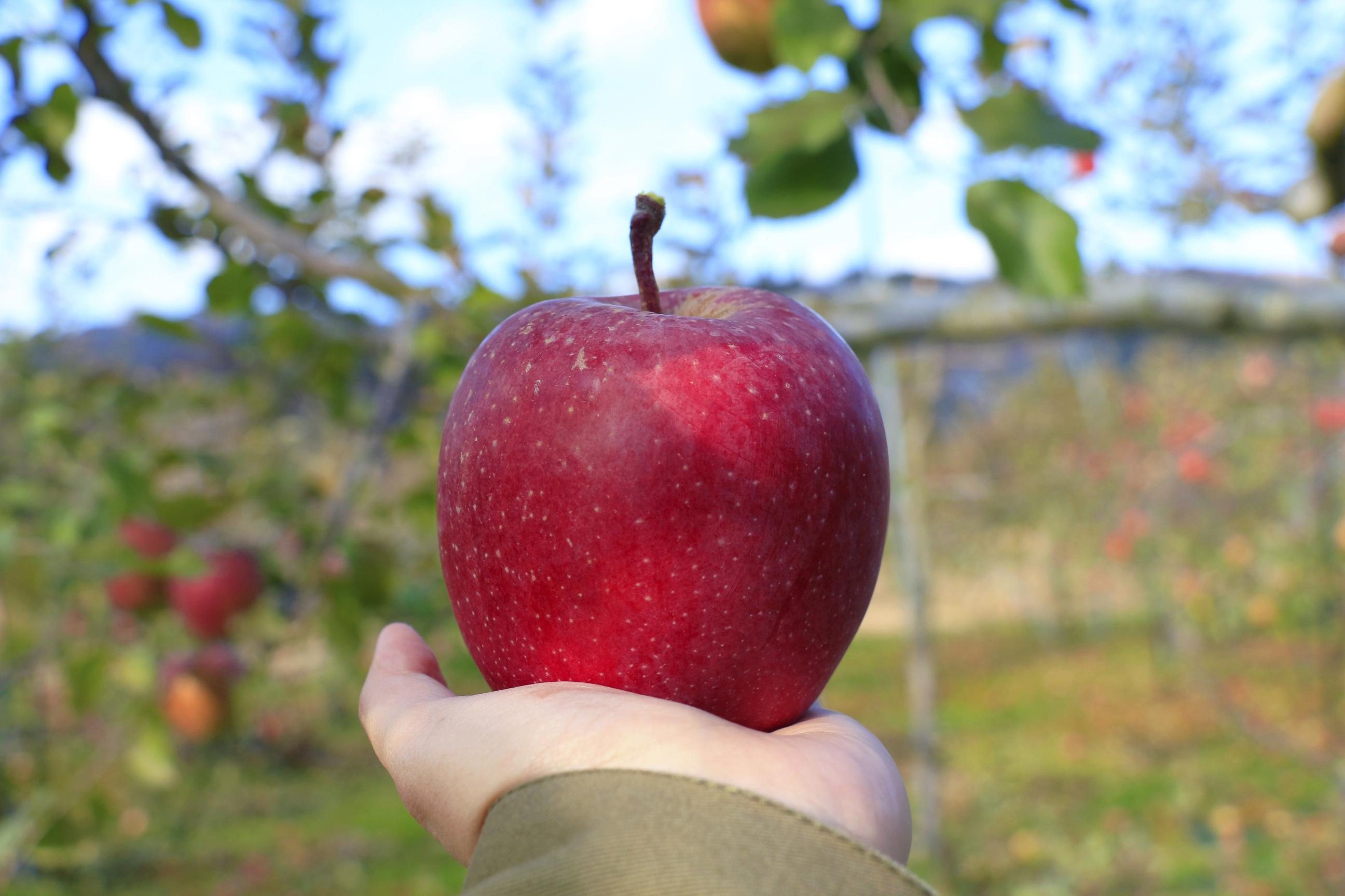 おいしいリンゴの話。 | Japan OLD
